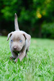 Weimaraner Pup Royalty Free Stock Image