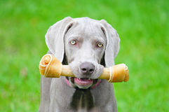 Weimaraner Pup Stock Photo
