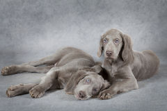 Weimaraner puppies in front of grey background Royalty Free Stock Photos