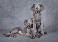 Weimaraner puppies in front of grey background Stock Photo