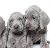 Weimaraner puppies Stock Images