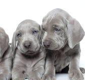 Weimaraner puppies. One month and a half old weimaraner puppies Stock Images