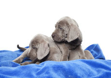 Weimaraner puppies Stock Image