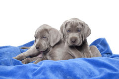 Weimaraner puppies Royalty Free Stock Photos
