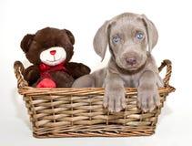 Weimaraner Puppy Stock Images