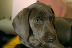 Weimaraner puppy. Weimaraner close up head and eyes puppy Royalty Free Stock Photo