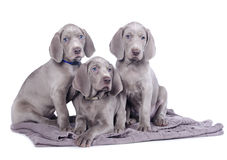 Free Weimaraner Puppy Royalty Free Stock Photography - 44155807