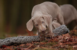 Weimaraner Puppy. A Weimaraner Puppy playing in the wood Stock Images