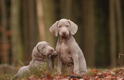Weimaraner Puppy. A Weimaraner Puppy playing in the wood Royalty Free Stock Image