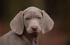 Weimaraner Puppy Royalty Free Stock Image