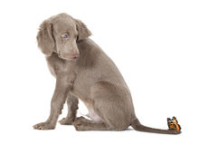 Weimaraner puppy with butterfly Royalty Free Stock Photo