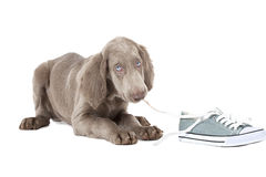 Weimaraner puppy chewing the lace of a shoe Stock Photos