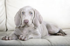 Weimaraner puppy dog portrait Royalty Free Stock Image
