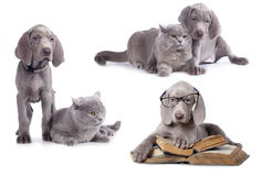 Weimaraner puppy. And kitten,  book and dog Stock Photography