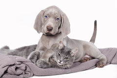 Weimaraner puppy Stock Photography