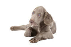 Weimaraner puppy, 3 months old Royalty Free Stock Photos