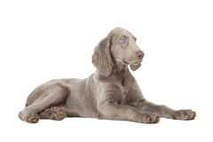 Weimaraner puppy, 3 months old Royalty Free Stock Images