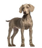 Weimaraner puppy, 2,5 months old, standing Stock Images