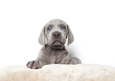 Weimaraner puppy. One month and a half old weimaraner puppy on soft pillow Royalty Free Stock Photography