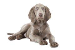 Weimaraner puppy over white, three months old Stock Photos