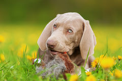 Weimaraner puppy with a pheasant plushie. In the snout royalty free stock photo