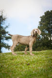 Weimaraner puppy portrait blue sky Stock Photos