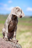 Weimaraner puppy portrait. Portrait weimaraner puppy in field Royalty Free Stock Image