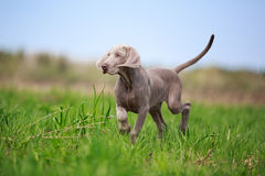 Weimaraner puppy. Portrait weimaraner puppy in field Royalty Free Stock Photos