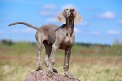 Weimaraner puppy Stock Image