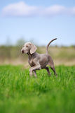 Weimaraner puppy. Portrait weimaraner puppy in field Royalty Free Stock Photography