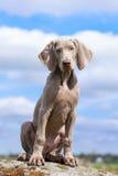 Weimaraner puppy portrait. Portrait weimaraner puppy in field at rock Royalty Free Stock Photo