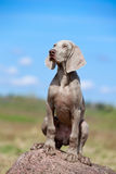 Weimaraner puppy portrait Stock Images