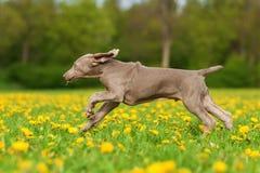 Weimaraner puppy runs over the meadow Stock Images