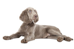 Weimaraner puppy, three months old Royalty Free Stock Images