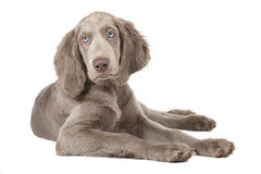 Weimaraner puppy, three months old, isolated on white Stock Images