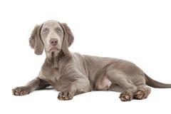 Weimaraner puppy, three months old Royalty Free Stock Photos