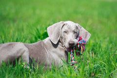 Weimaraner puppy with toy. On grass Royalty Free Stock Photos