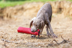 Weimaraner puppy with a toy in the snout. Weimaraner puppy plays with a toy in the snout at the border of a lake stock images
