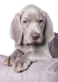 Weimaraner puppy Royalty Free Stock Images