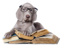 Weimaraner puppy Royalty Free Stock Photo
