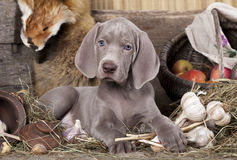 Weimaraner puppy Stock Photo