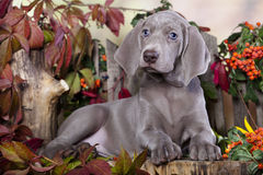 Weimaraner puppy Royalty Free Stock Photos