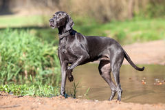 Weimaraner purebred dog outside portrait
