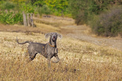 Weimaraner running Royalty Free Stock Photography