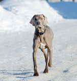 Weimaraner is running Royalty Free Stock Images