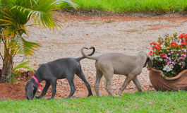 Weimaraner. Sisters Love in Farm Royalty Free Stock Images