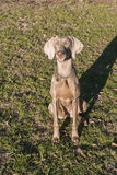 Weimaraner Sitting on the Grass 04 Stock Photos
