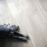 Weimaraner sleeping on wood floor Royalty Free Stock Images