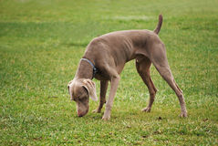 Weimaraner Sniffing Stock Photography