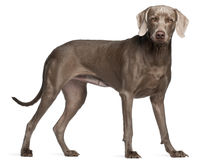 Weimaraner, standing in front of Stock Images